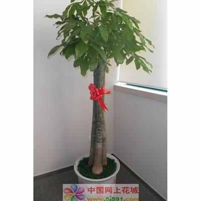 南京绿植花卉-发财树8