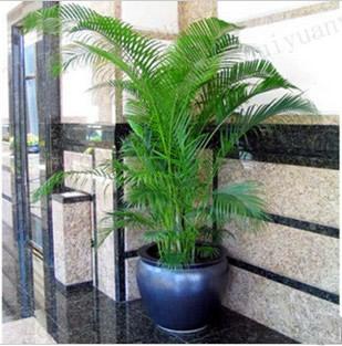 绿植花卉-散尾葵2