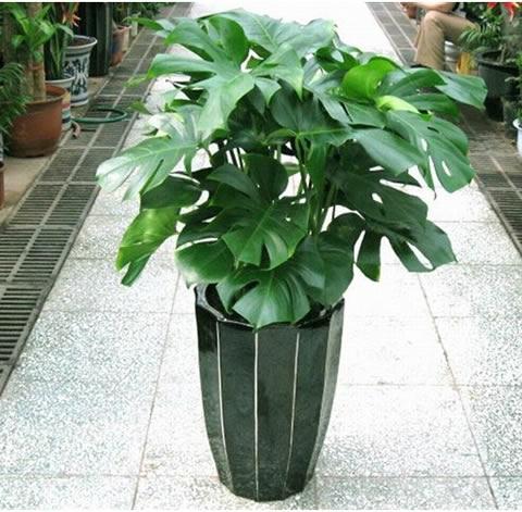 绿植花卉-龟背竹2