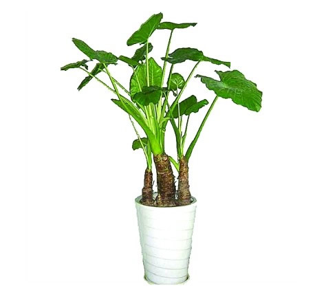 绿植花卉-滴水观音