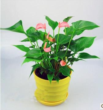 绿植花卉-粉掌